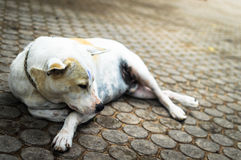 Homeless dog sleeping on the walkway Royalty Free Stock Photo