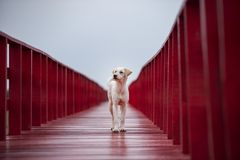 Homeless dog standing on red wood bridge and looking fot future Stock Images