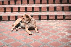 Homeless dog on the street in the temple in Thailand.  Stock Images