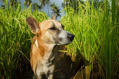 A homeless dog in a thicket of rice. Animal, portrait, muzzle, gray, ragged ear, stylized, field, rice, farm, rice stems, path, organic farm, vegetarianism, asia Stock Photo