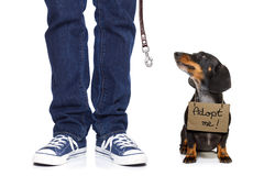 Homeless dog to adopt. Lost and homeless dachshund sausage dog with cardboard hanging around neck, isolated on white background, with text saying : adopt me stock image