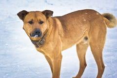 Homeless dog walking Stock Image