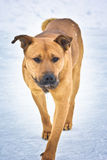 Homeless dog walking Stock Photography