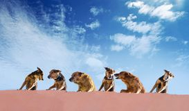 Homeless dogs gang on a roof of a concrete house on a blue sky b. Ackground. Morocco royalty free stock photos