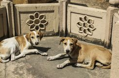 Homeless dogs in the temple,New Delhi,India. Homeless dogs lie in the temple,New Delhi,India Royalty Free Stock Photo