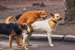 Homeless dogs make sex on sidewalk Stock Photography