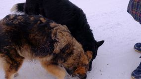 Homeless dogs. People fed animals. Homeless dogs. Winter time. People fed animals stock video footage
