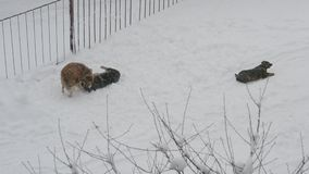 Homeless dogs playing in snow stock video footage