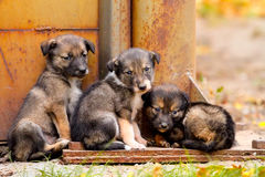 Homeless dogs Royalty Free Stock Photo