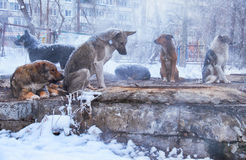 Homeless dogs in winter Royalty Free Stock Photography