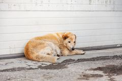 Homeless fluffy yellow dog with a sad look hungry lies waiting for help and food near the wall on the dirty asphalt. Help animals. Without owners stock photography