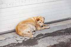 Homeless fluffy yellow dog with a sad look hungry lies waiting for help and food near the wall on the dirty asphalt. Waiting for. The owner at the threshold of royalty free stock images