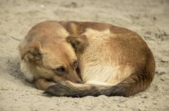 A homeless frozen brown small dog with a label on his ear curled up on the cold wet sand and spread his face among the paws stock photos