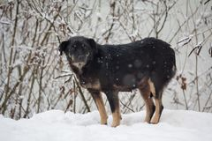 Homeless, frozen dog in a winter storm. Pets royalty free stock image