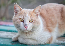 Homeless ginger cat with sad eyes sitting on a wooden surface and looking at the camera horizontal position of the frame Stock Photography