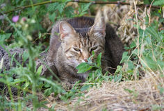 Homeless gray cat hiding in the grass Royalty Free Stock Photo