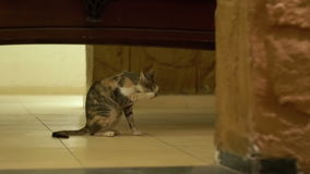 Homeless gray cat licking the floor stock video footage