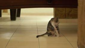 Homeless gray cat licking the floor stock video