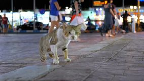 Homeless gray Egyptian cat wanders through the nightly busy street of Egypt. Stray cat walks on the sidewalk with people. Sharm el Sheikh stock video
