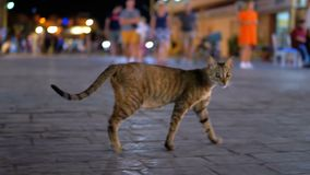 Homeless Gray Egyptian Cat Wanders through the Nightly Busy Street of Egypt. Stray cat walks on the sidewalk with people. Sharm el Sheikh stock video footage