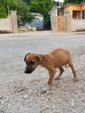 Homeless hungry dogs in jamaica. Afraid of people, look with caution Royalty Free Stock Photos