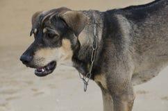 Homeless  Hunt dog on the beach Stock Photo
