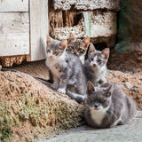 Homeless kittens with mom in Tuscany Royalty Free Stock Images