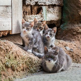 Homeless kittens with mom in Tuscany Royalty Free Stock Photography