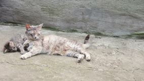 Homeless Kittens are Played with a Cat. Little homeless kittens red and gray colors are played with a cat on the street. Full HD 1920 x 1080p, 29,97 fps stock video
