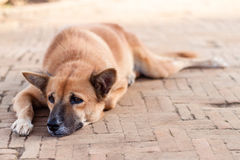 Homeless Lonely Street Dog waiting for someone on the footpath Stock Image