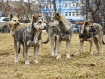 Homeless mongrel dogs. Pack of homeless mongrel dogs standing on dry grass Royalty Free Stock Images