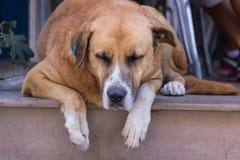 homeless Perro perdido Una cabeza de un perro Fotografía de archivo libre de regalías