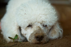 Homeless poodle dog. Homeless poodle dirty white dog portrait in mad royalty free stock image