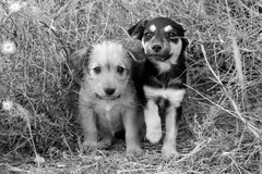 Homeless puppies. Sad homeless puppies looking in the eyes. B&W Royalty Free Stock Photo