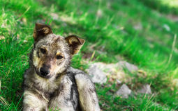 Homeless puppy dog on grass close up.  Royalty Free Stock Photo