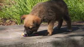 Homeless puppy eats bread. Homeless animals stock footage