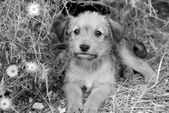 Homeless puppy. Sad lonely homeless puppy looking in the eyes. B&W Royalty Free Stock Image