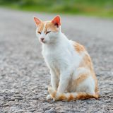 Homeless red cat sitting on the warm asphalt road. Stray cat screwed up his eyes. Sunset.  royalty free stock image
