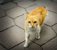 Homeless rufous cat Royalty Free Stock Image