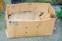 Homeless sad dog sleeping in box Royalty Free Stock Image