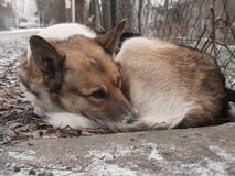 Homeless sad dog sleeping on the street. Soft focus Royalty Free Stock Images