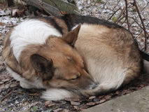 Homeless sad dog sleeping on the street. Soft focus Stock Image