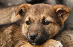 Homeless, sad puppy muzzle close up Royalty Free Stock Photography