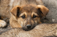 Homeless, sad puppy muzzle close up Royalty Free Stock Image