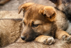 Homeless, sad puppy muzzle close up Royalty Free Stock Photos