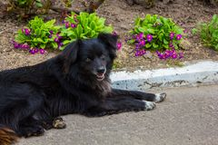 Homeless shaggy black dog Royalty Free Stock Images