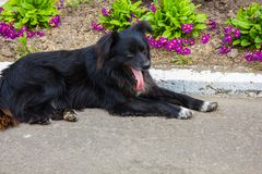 Homeless shaggy black dog Royalty Free Stock Photos