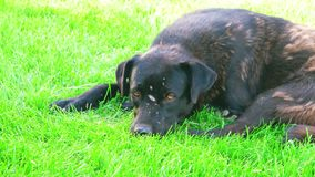 Homeless shorthaired dog laying in field stock video footage