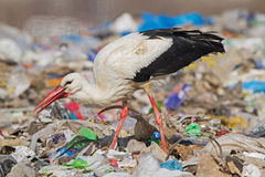A homeless Stork Royalty Free Stock Image