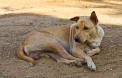 Homeless stray brown dog Royalty Free Stock Photo